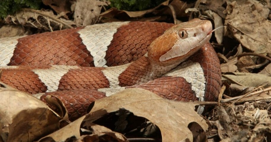 Broad band copperhead snake.