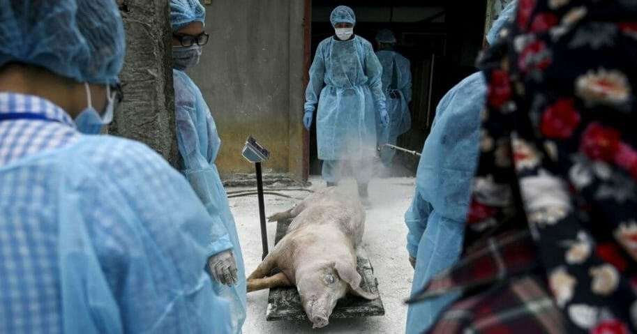 This photograph taken on May 27, 2019, shows veterinarians and health officials weighing a dead pig at a farm in Hanoi, Vietnam, before burying it in an isolated quarantined pit to stop the spread of African Swine Fever.