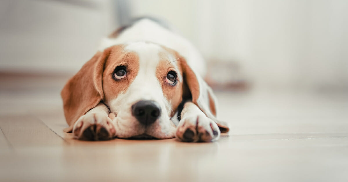 A shocking report reveals the cruelty of Chinese scientists and engineers, who are allegedly using live animals for crash tests despite the barbaric practice being obsolete. The image above is a stock photo of a dog.