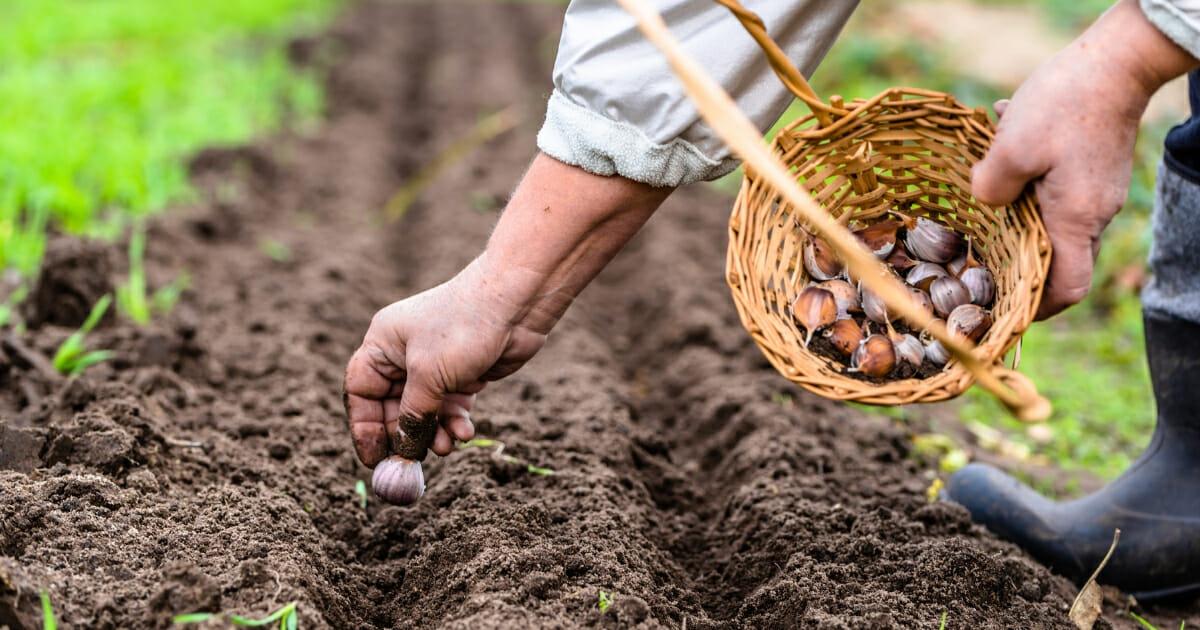 A farmer plants garlic.