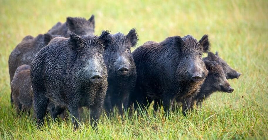 A sounder of wild hogs.