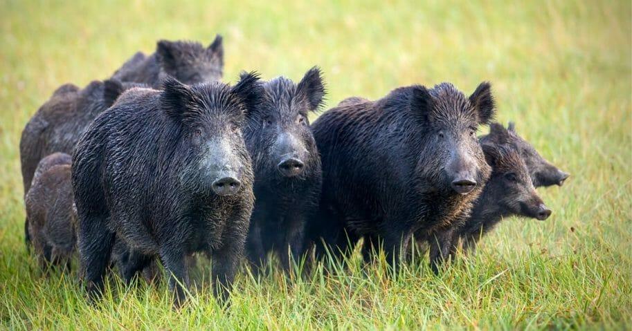 A sounder of wild hogs.