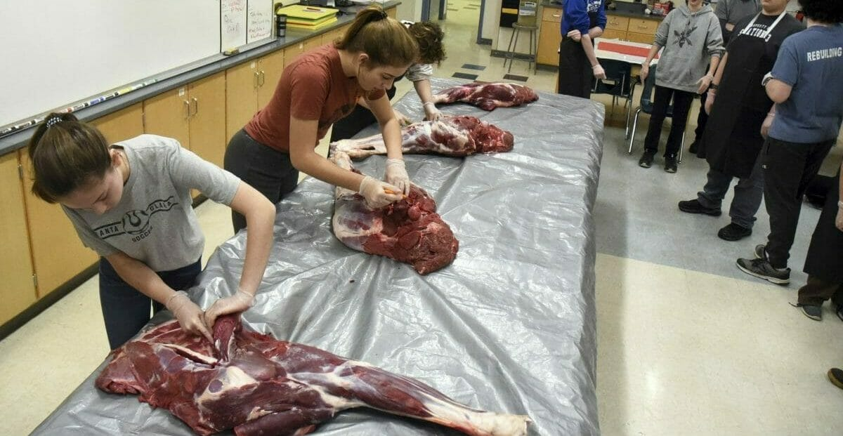 students cutting into moose legs