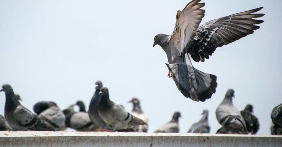 A group of pigeons. Recently, two pigeons wearing cowboy hats have been spotted in Las Vegas.