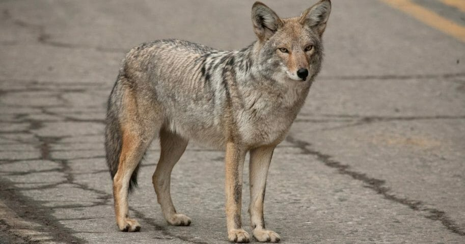 A coyote crossing a street. In Kensington, New Hampshire, a string of attacks by a coyote ended when a protective father strangled the animal to death.