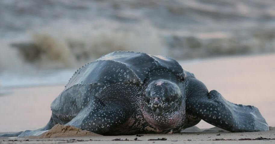 A leatherback sea turtle crawls up the beach to nest.