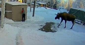 An Alaskan moose approaching a resident of the state.