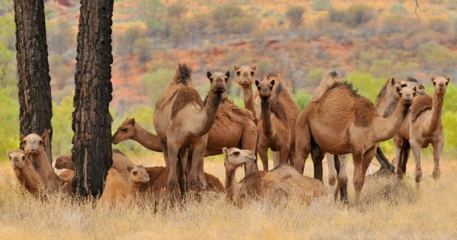 A herd of wild camels is seen in the Australian Outback.