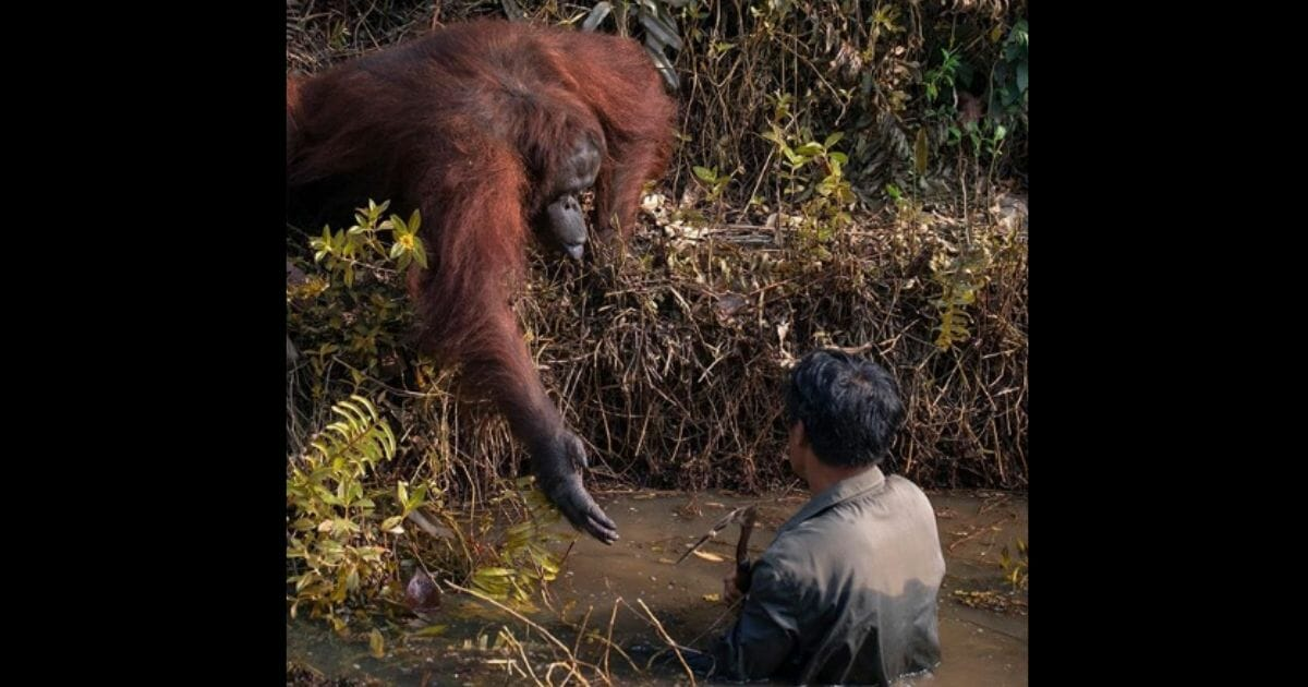A man on a safari witnessed a once-in-a-lifetime moment when an endangered orangutan extended a helping hand to a park ranger in snake-infested waters.