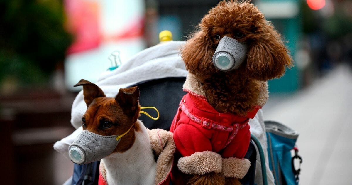Dogs wearing masks are seen in a stroller in Shanghai, China, on Feb. 19, 2020.