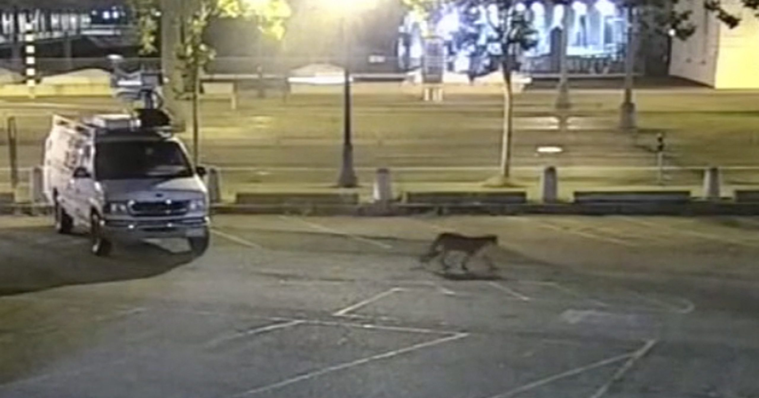 In this image from surveillance camera video provided by KGO-TV, a young mountain lion wanders through the station's parking lot in San Francisco on June 16, 2020. The animal was safely captured on June 18. The disoriented cougar roamed the streets of the city for two days until he was spotted by a police officer near Oracle Park, home of the San Francisco Giants.