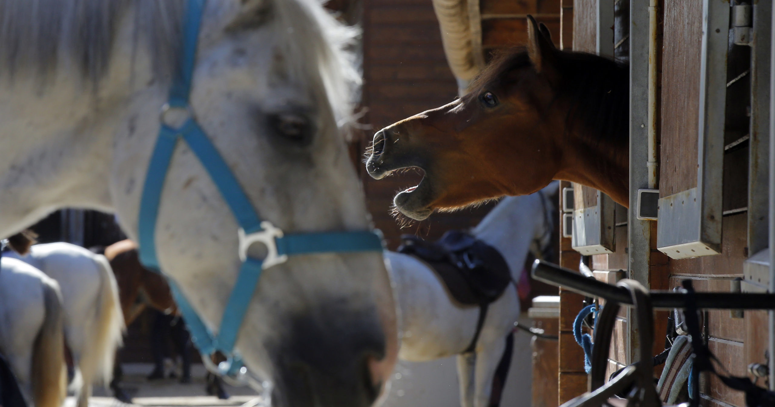 Horses stand in a box at an equestrian club in Les Yvelines, west of Paris, on Aug. 28, 2020. Attackers are going after horses and ponies in pastures across France in what may be ritual mutilations.