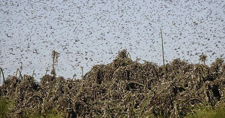 In this undated photo provided by the Food and Agriculture of the United Nations on Sep. 4, 2020, locusts swarm in Botswana.