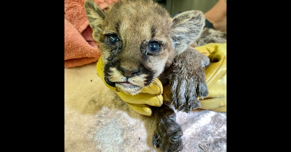 """""""Captain Cal,"""" a weeks-old mountain lion cub found badly burned in the Zogg Fire area in California last week."""