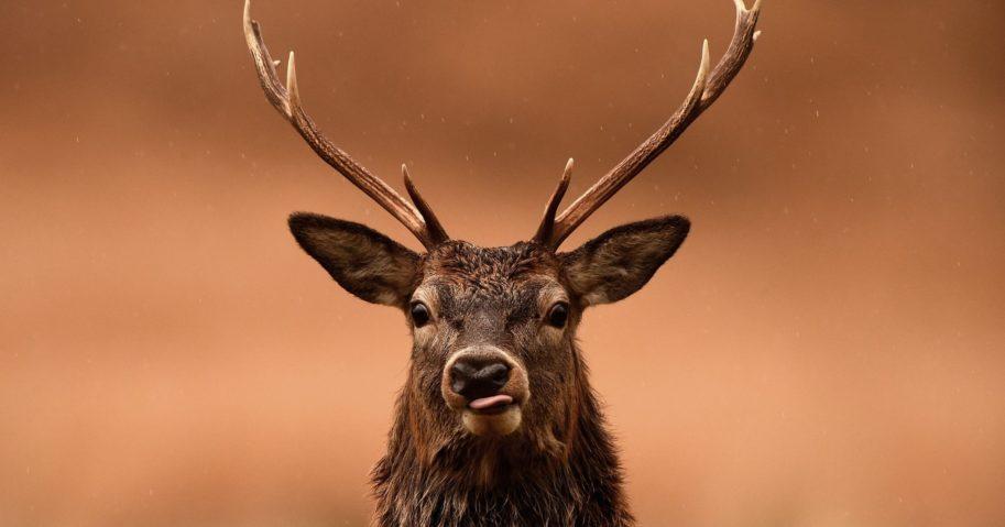 Red deer graze following the end of the rutting season on Nov. 12, 2014, in Glen Etive, Scotland.