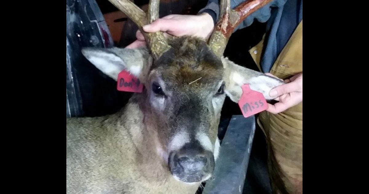 """A deer killed near Lanesboro, Minnesota, in 2017, sported ear tags upon which someone had written """"Don't"""" and """"Miss."""""""