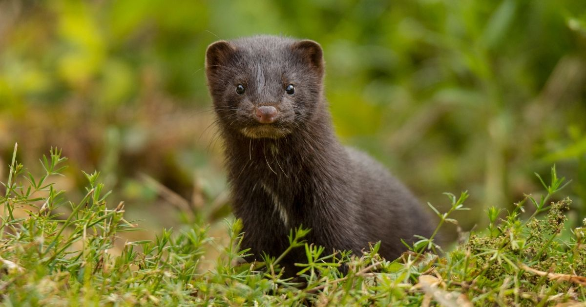 A mink is seen in the stock image above.