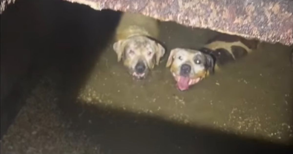 Bianca and Brenda, two pups who escaped their yard, had to be rescued from a septic tank.