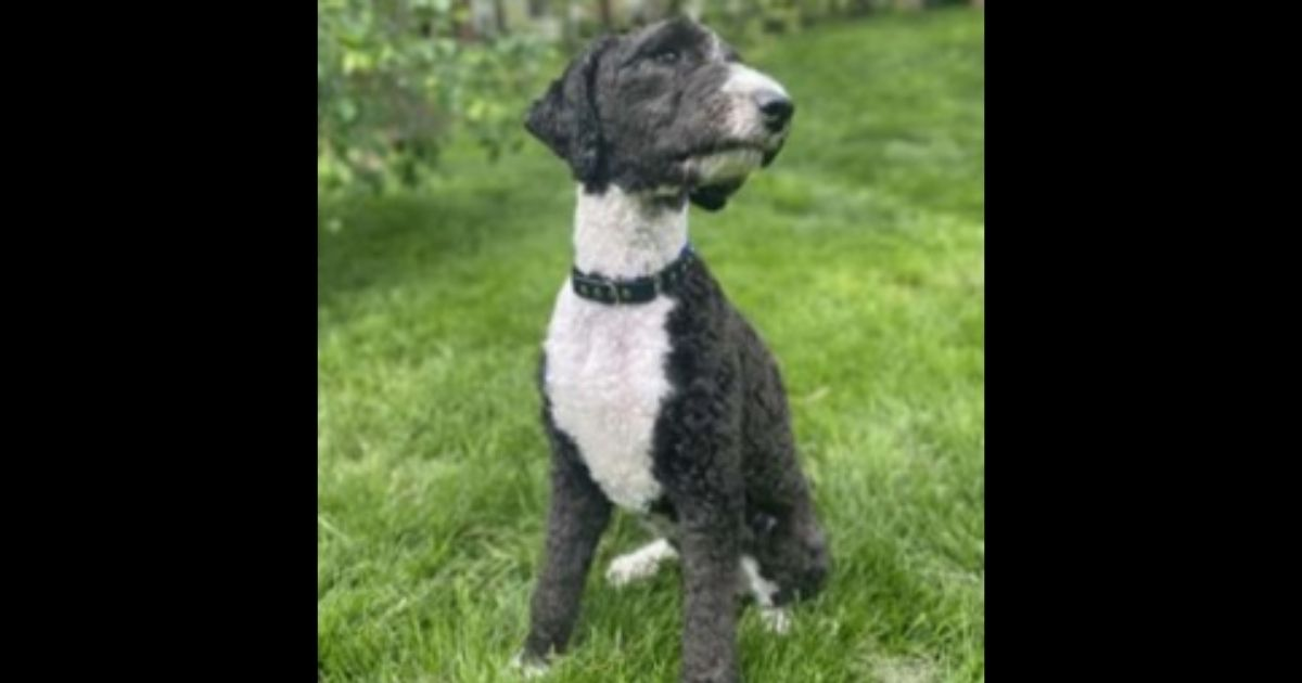 Tootsie, a sheepadoodle, is a service dog whose handler passed away.