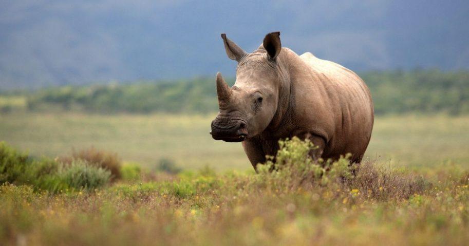 A white rhinoceros grazes in an open field in South Africa.