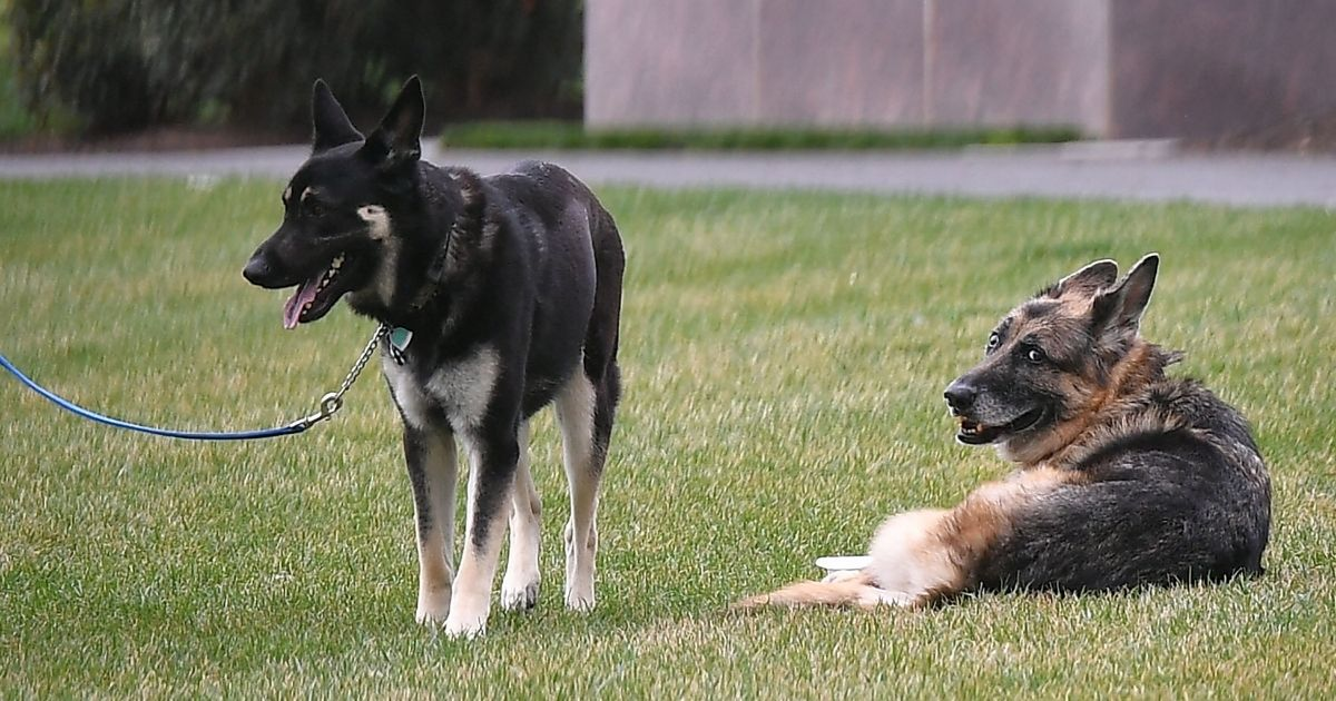 The Biden family dogs Champ, right, and Major are seen on the South Lawn of the White House in Washington, D.C., on March 31, 2021.