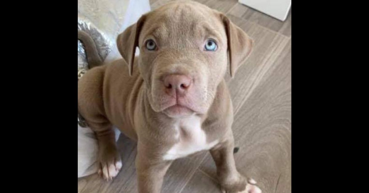 Cairo, a 9-week-old American Bulldog puppy, was stolen from his home in Glasgow and found alive on the side of a road two days later.