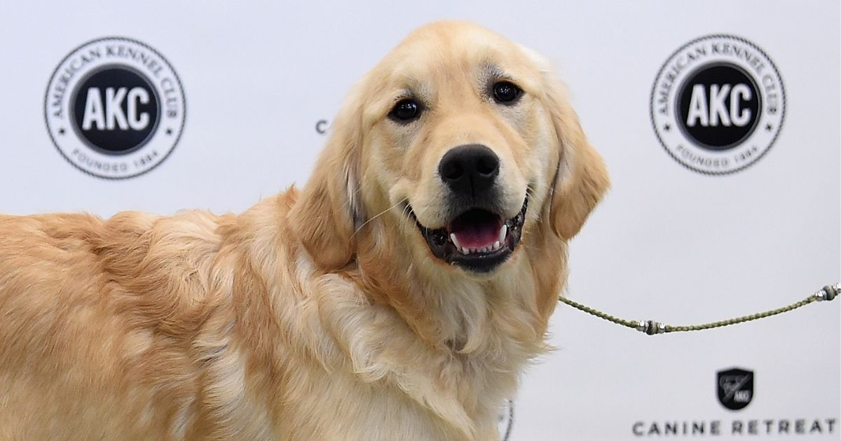 A golden retriever is shown at the American Kennel Club Canine Retreat in New York City on March 21, 2017.