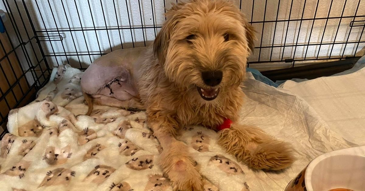 Tigger, a young wheaten terrier who stepped on a cactus needle and had to have his leg amputated as a result.