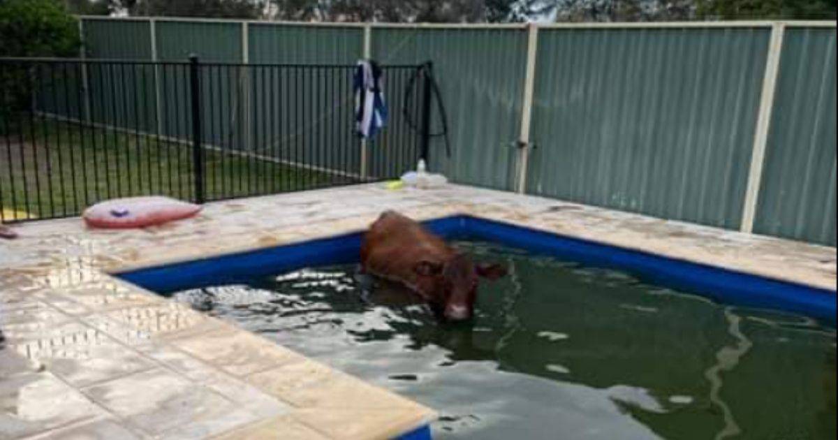 A 660-pound cow makes itself at home in a backyard pool in New South Wales before being moo-ved by first responders on April 3, 2021.