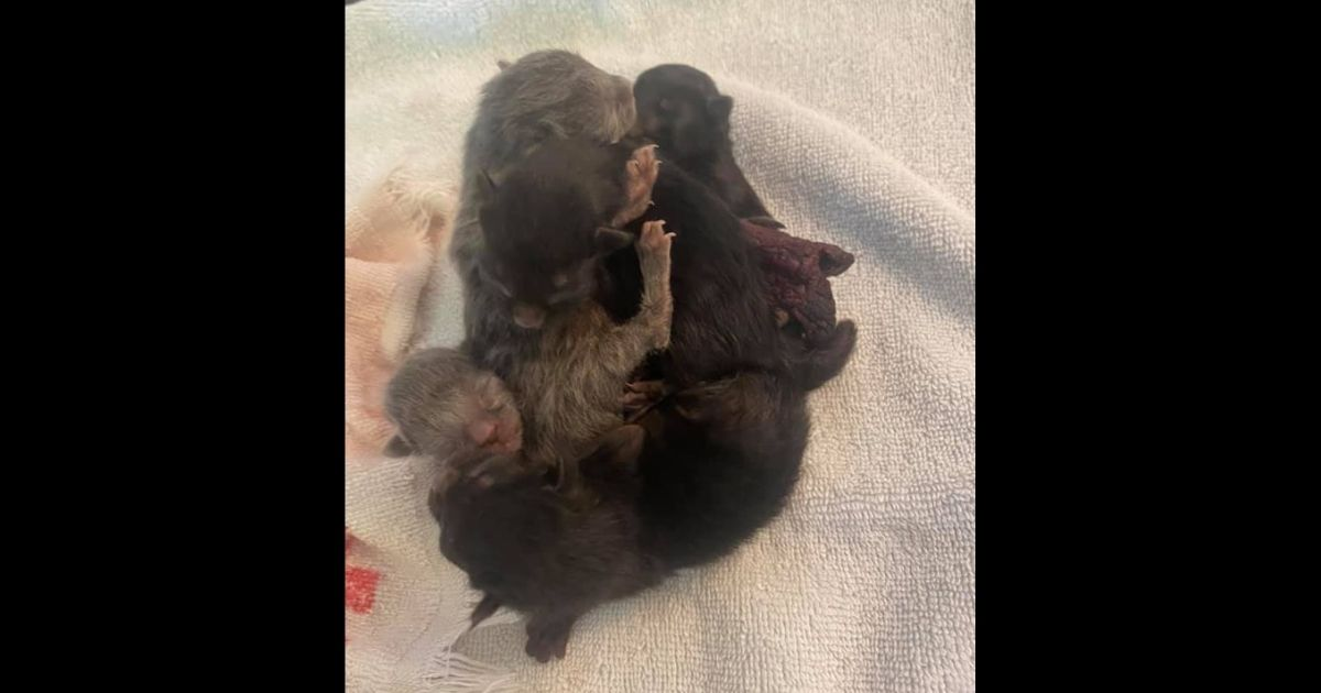 Five conjoined black kittens