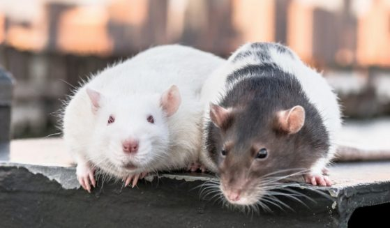 The above stock photo shows two rats in Jersey City, New Jersey on June 11, 2017.
