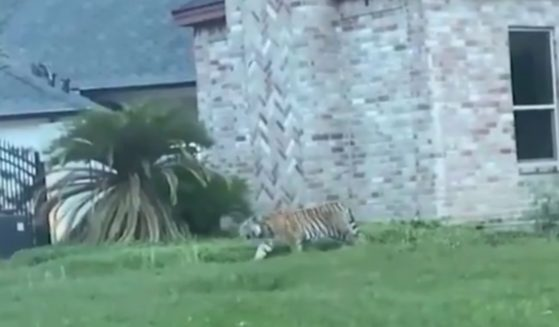 A tiger got loose in a Houston neighborhood. The current whereabouts of the large cat are unknown.