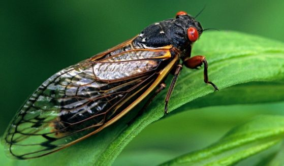 A cicada requires 17 years to complete its development.