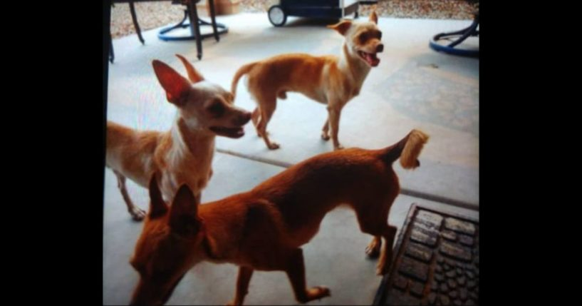 The three dogs that were discovered tied together, bagged and dumped next to a Walmart dumpster in Mesa, Arizona.