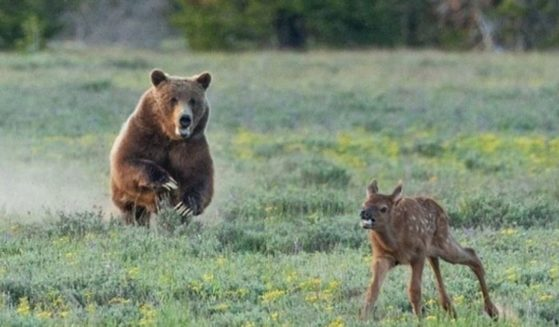 A grizzly bear is pictured hunting an elk calf with her cubs not far behind.