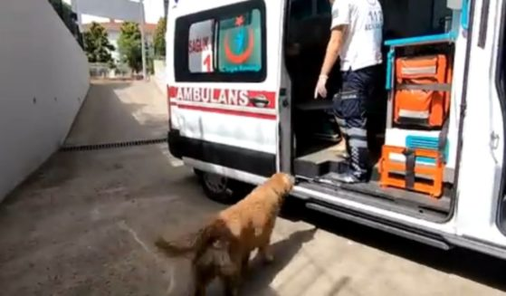 A loyal dog looks at its owner, who is inside the ambulance and being taken to the hospital. The dog was not allowed in the vehicle, so it ran alongside it all the way to the hospital.