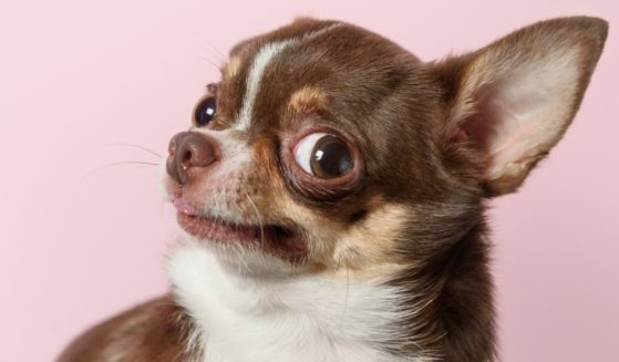 A chihuahua looks outraged.