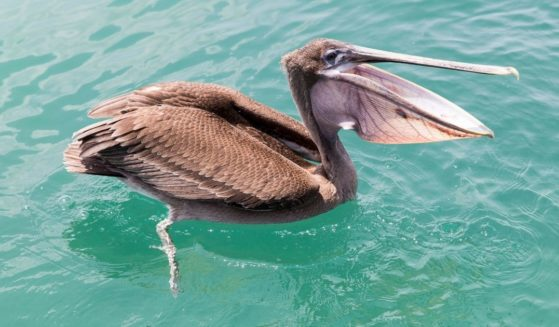 A brown pelican swims near Santa Cruz Island in Ecuador in 2015. Thirty-two of the birds -- which feed by diving into the water -- were found mutilated along the Southern California coast this past spring.