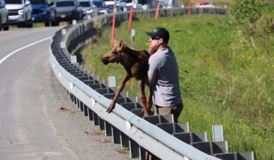 Joe Tate lifts the baby moose over the guardrail so it can be reunited with its mother.