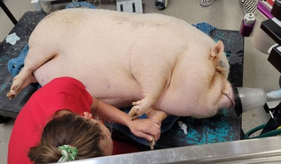 Cupcake, a severely overweight potbelly pig, was found dumped in front of a house in Las Vegas.