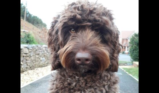 """Digby, a labradoodle and therapy dog in Exeter, England, was sent in to help """"talk down"""" a woman on a bridge who was considering taking her life."""