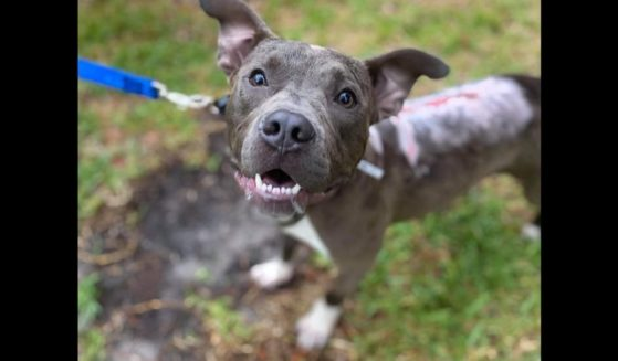 Beanz, a young dog who was thrown from a truck and suffered serious burns, has been adopted by his foster family.