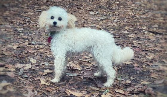 Bella, a 10-month-old cockapoo, went missing during a hike with her family in Colorado and was found a month later.