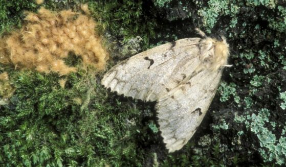 This stock image portrays a gypsy moth, an insect which may be getting a new name after claims that its current one is ethnically insensitive.