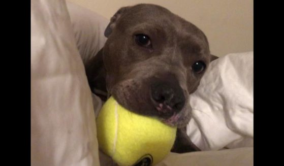 Heart, a young pit bull, was found on the streets with his tongue cut out.