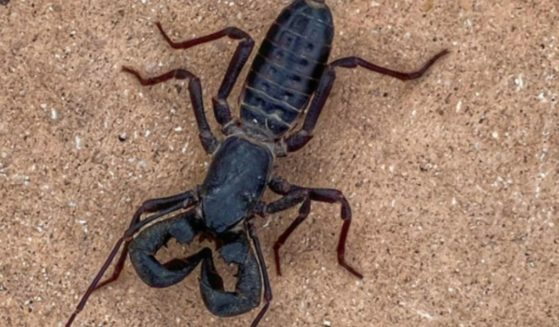 A vinegaroon, or whip scorpion, is a 3-inch-long arachnid that is a known predator of several smaller insects and arachnids.