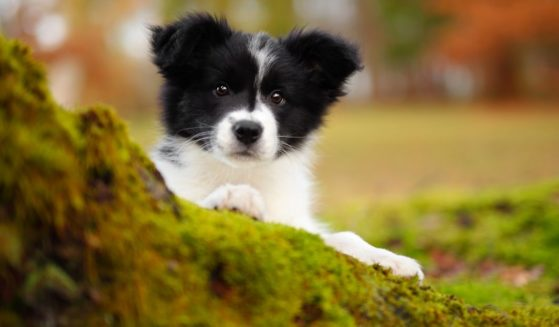 A border collie puppy is seen in this stock image.