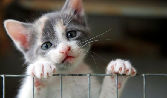 Sad-looking kitten trying to climb over a wire fence.