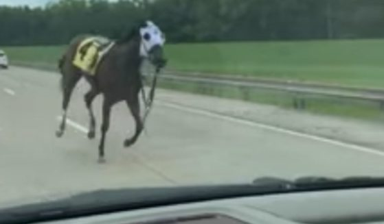 A horse escaped Ellis Park in Henderson, Kentucky, on Saturday and was seen running down Interstate 69.
