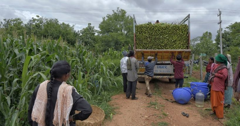 Farmers load a truck with maize at a field on the outskirts of Bengaluru, India, on Aug. 11, 2021.